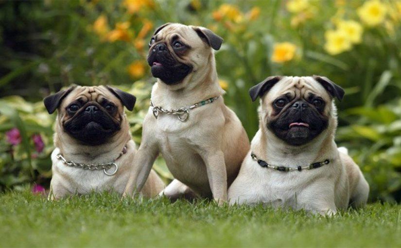 Лучшие ветеринары умоляют вас не покупать собак этих пород! Вот почему